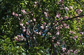 楠公社梅の花1