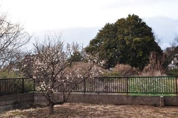 白梅5分咲き
