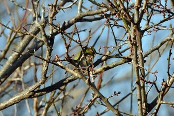 梅の木とメジロ初詣の写真