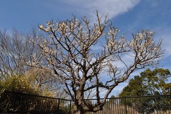 七分咲きの梅画像