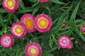 Helichrysum_2.jpg
